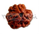 Picture of Three Face (3 Mukhi) Rudraksha