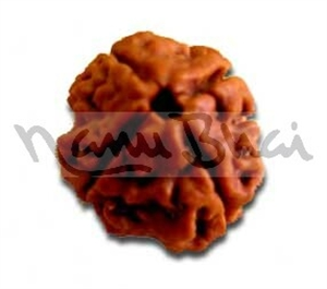 Picture of Four Face (4 Mukhi) Rudraksha